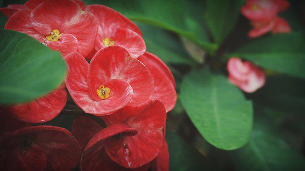 Eight Immortals, Flowers, Red, Garden, Pink, Exotic