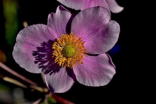 Fall Anemone, Garden, Nature, Pink, Garden Plant