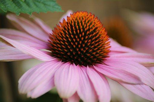 Flower, Nature, Blossom, Bloom, Plant, Garden, Macro