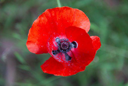 Poppy, Flower, Red, Nature, Bloom, Summer, Garden