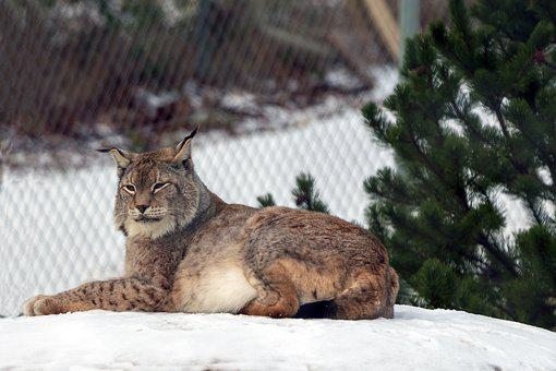 Lynx, Wildcat, Cat, Predator, Animal, Big Cat