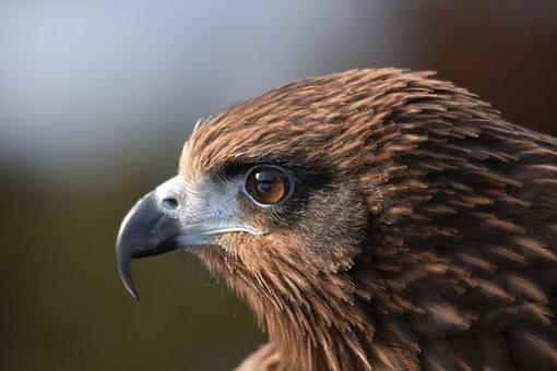 Animal, Bird, Wild Birds, Raptor, Video, Profile, Eyes