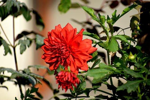 Red, Flower, Nature, Rose, Bloom, Blossom, Poppy