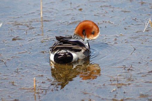 Widgeon, Bird, Waterfowl, Water, Reflection, Fauna