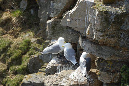 Gulls, Breed, Rock, Birds