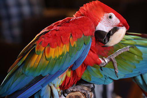 Scarlet Macaw Tropical Bird, Brazilian Rio Rainforest
