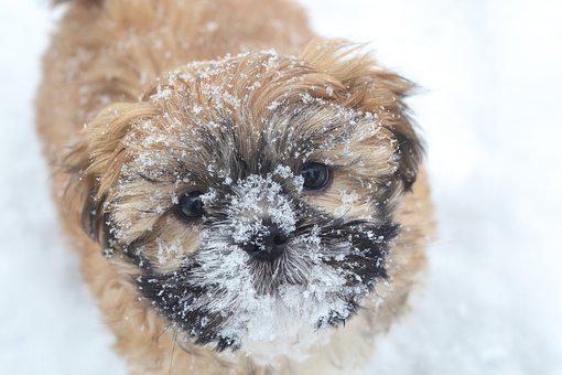 Puppy, Dog, Snow, Winter