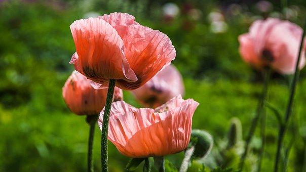 Nature, Flowers, Poppy, Pink, Petals, Summer, Flora