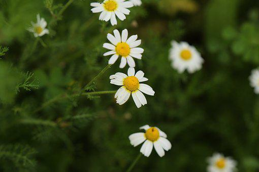 Flowers, Wild Flowers, White, Chamomile, Bloom, Winter