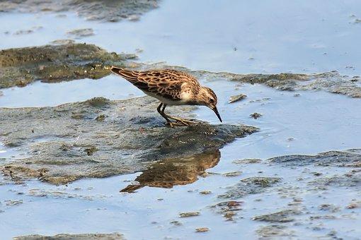 Migratory, Bird, Wild, Wildlife, Natural, Wetland