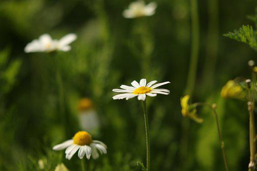 Flowers, Chamomile, Wild Flowers, White, Winter, Field