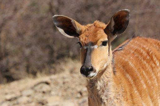 Nyala, Female, Africa, Portrait, Animal, Antelope