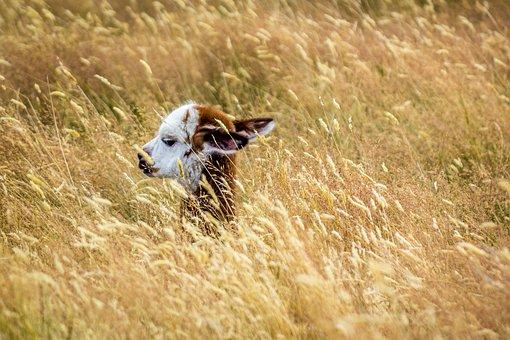 Alpaca, Baby Alpaca, Cute, Animal, Baby, Head, Field