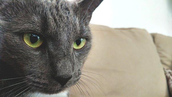 Cat, British, Thoroughbred, Sweet, Animal, Kitten