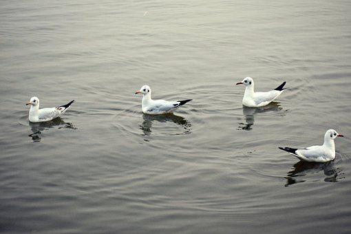 Water Birds, Water, Seagulls, Lake, Nature, Animal