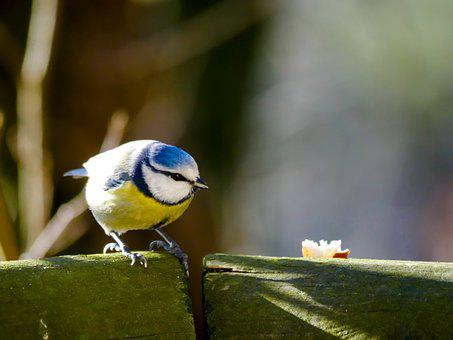 Animal World, Bird, Tit, Blue Tit, Feather, Plumage