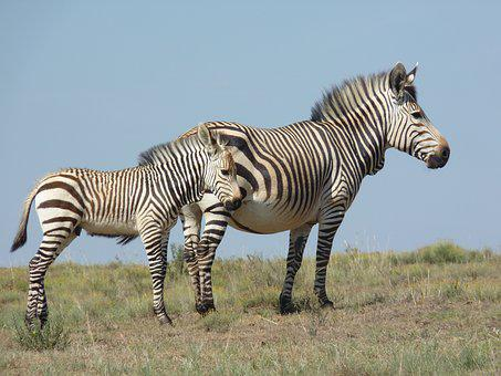 Hartmann's, Zebra, Bergzbra, Nature, Animal World