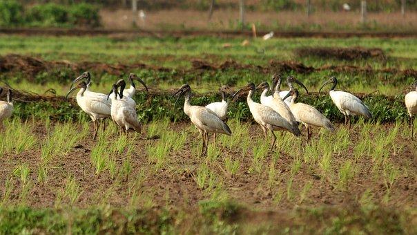 Black Headed Ibis, Black, White, Bird, Avian, Kerala
