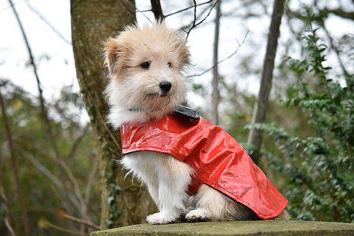 Dog, Dog Wears A Coat, Pup, Dog Ouba, Coat For Dog Red