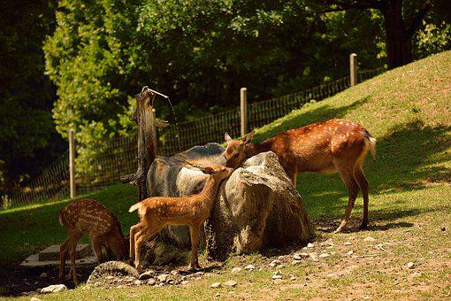 Roe Deer, Wild, Animal, Fawn, Fallow Deer, Forest