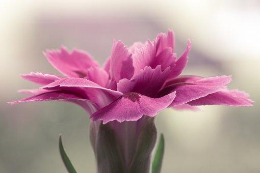 Pink Flower, Pink, Single Flower, Clear, Flora, Dashing