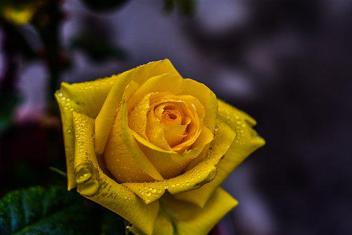 Yellow Rose, Flower, Beauty, Nature