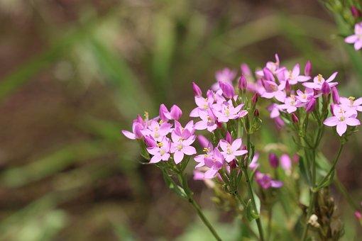 Flower, Garden, Nature, Pink