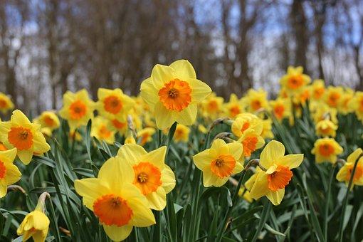 Daffodils, Flowers, Daffodil, Yellow, Nature, Bloom
