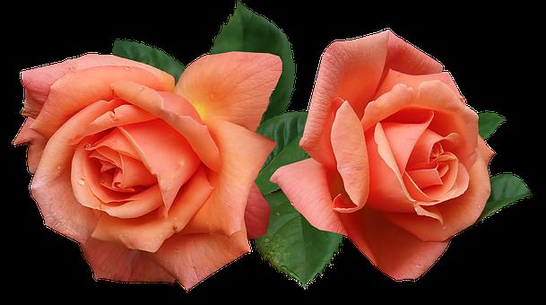 Roses, Fragrant, Flowers, Garden, Nature