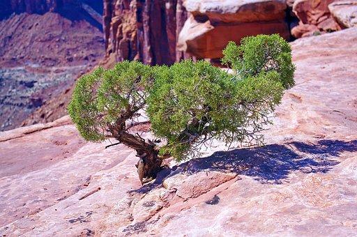 Utah Juniper On The Edge, Juniper, Gnarled, Canyonlands