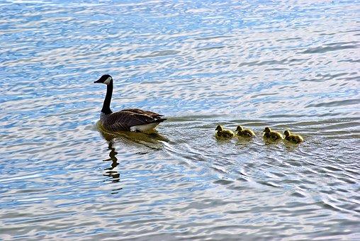 Lake Dardanelle Geese, Goose, Chicks, Bird, Animal