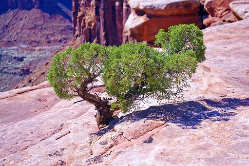 Utah Juniper On The Edge, Juniper, Gnarled, Canyonlands