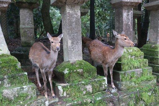 Nara, Small Deer, Kasuga Taisha Shrine