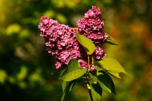 Common Lilac, Flower, Plant, Leaf, Foliage, Spring