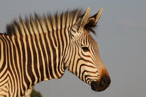 Hartmann's, Zebra, Mountain Zebra, Africa, Head
