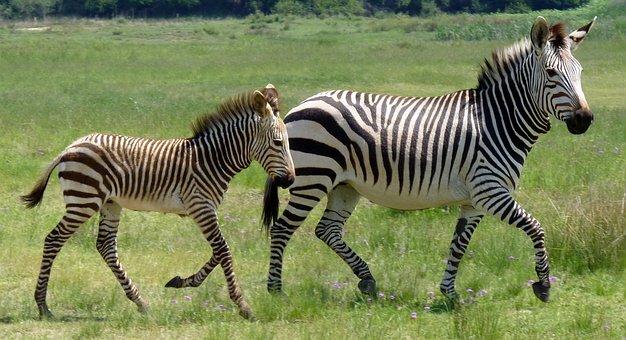Hartmann's, Zebra, Mountain Zebra, Zebra Baby, Baby