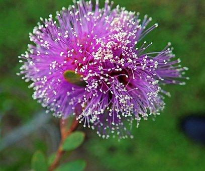 Flower, Native, Australian, Shrub, Garden, Nature