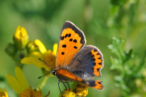 Copper, Butterfly, Flowers, Nature, Bug, Flower