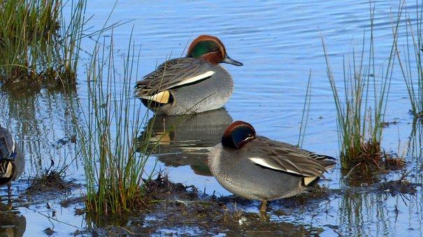 Duck, Lake, Ocean, Tide, Water, Nature, Plumage, Bird