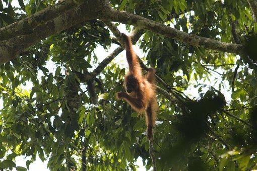 Orang Utan, Sumatra, Bukit Lawang, Ketambe, Jungle