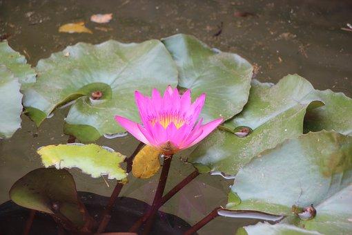 Flowers, Lotus, Nature, Flower, Water Plants, Pink, Bo
