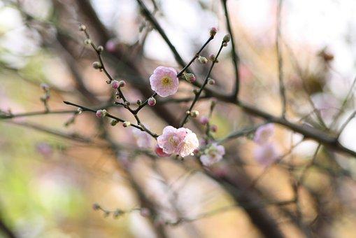 Cherry, Blossom, Spring, Pink, Flowers, Tree, Bloom