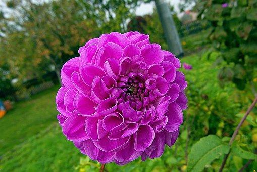 Dalia, Wheatgrass, Flower, Maroon, Petals, Plant