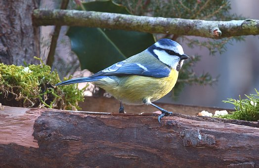 Blue Tit, Bird, Forest, Colors, Small, Plumage, Nature