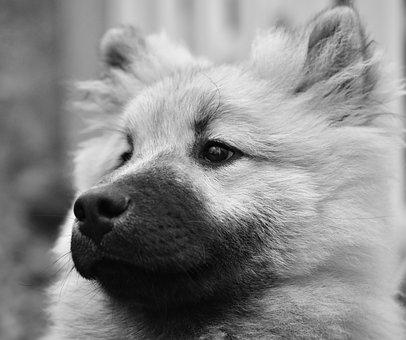 Dog, Dog Eurasier, Portrait Photo Black And White, Pup