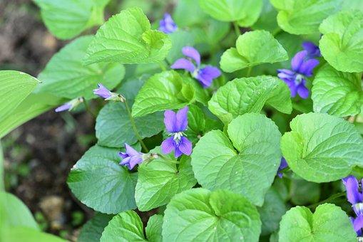 American Violet, Purple, Garden, Macro
