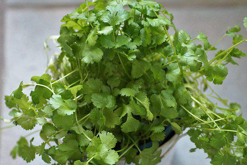 Coriander, Kitchen, Herb, Spices, Garden, Herbs
