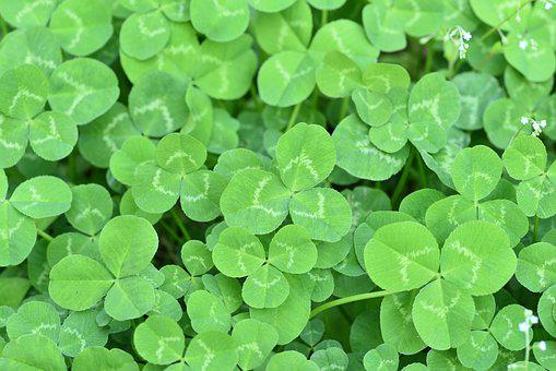 Clover, Three Leaf Clover, Happy, Greenness