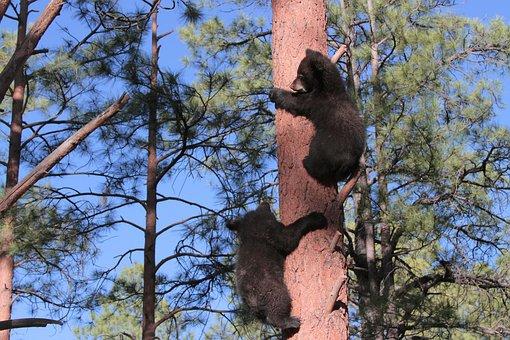 Arizona, Bears, Cubs, Mountain, Wood, Southwest, Tree