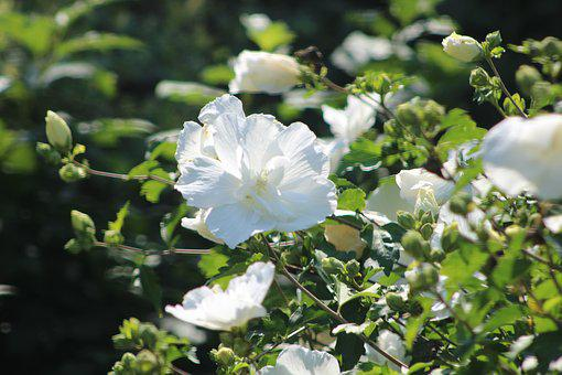 Flowers, White, Garden, Spring, Bloom, Nature, Summer